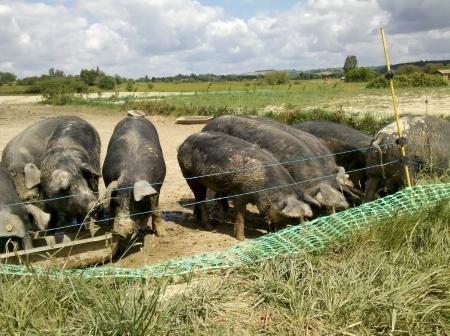 Les cochons de Sabine